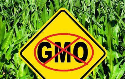 Le votazioni UE sull'approvazione di due nuovi OGM
